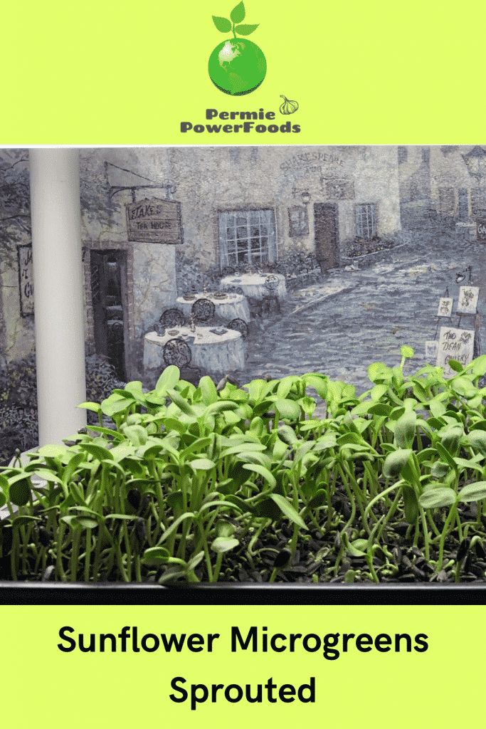 sunflower microgreens sprouted by permie power foods