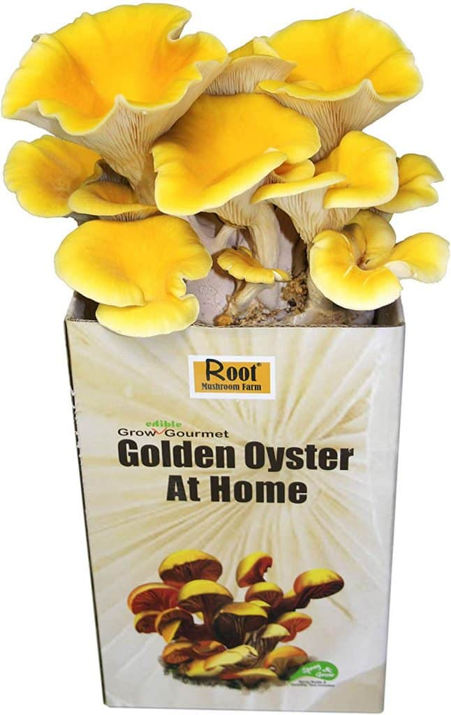 grow your own mushrooms at home golden oyster mushroom kit