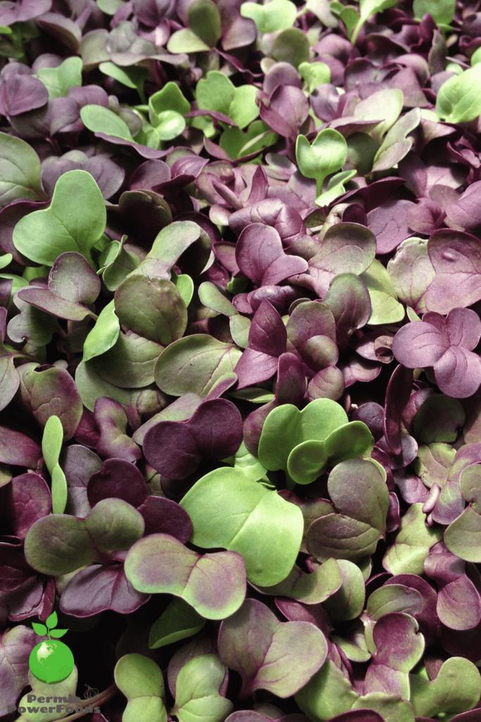 growing microgreens of purple and green